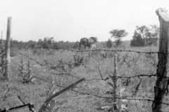 Horse and colt, circa 1949.