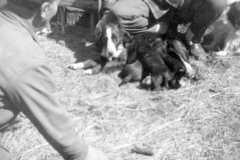 1954-00-00-ArnoldDS1890-puppies
