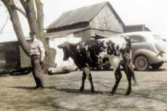 1955-06-01-ArnoldDS1890-Roxie-cow-Colorized