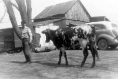 Daniel S. Arnold with Roxie the cow, at the Honor homestead, circa 1950